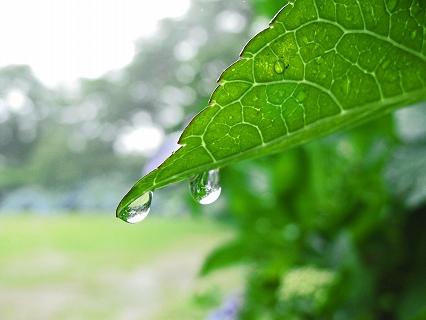 2009.6.雨の黒羽城址公園アジサイ 061