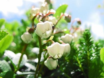 2009.7.那須姥が平.ひょうたん池 白玉の木の花