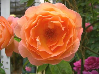 イーグレの薔薇0526
