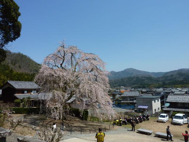 妙祐寺枝垂れ桜