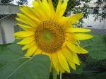 a_tsui_sunflower.jpg