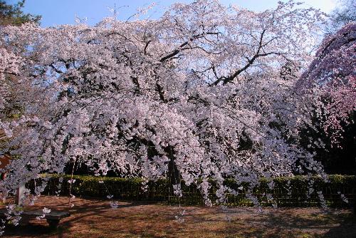 御苑 糸桜001
