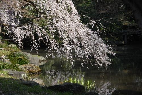 御苑 糸桜002