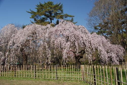 御苑 糸桜003