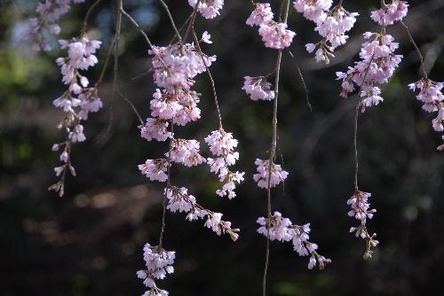 御苑 糸桜004