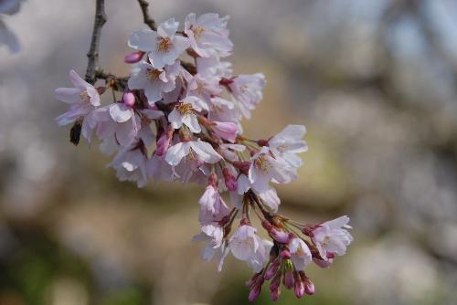 御苑 糸桜005