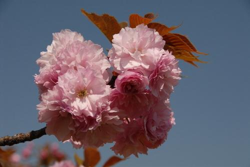 osaka桜003