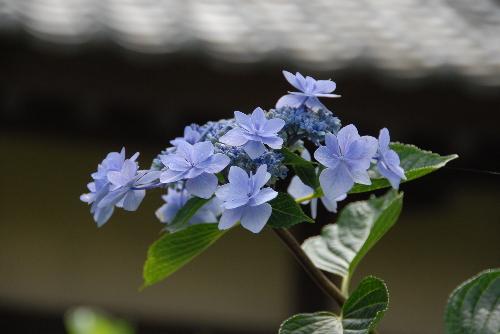藤森ajisai04