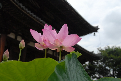 喜光寺hasu02