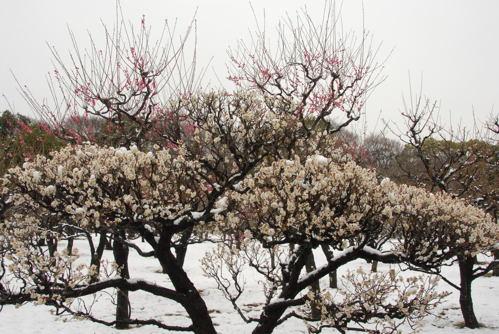 DSC大阪城雪と梅05