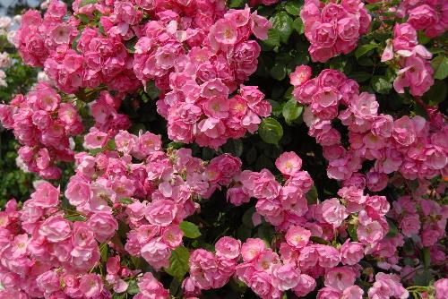 rose#01.jpg