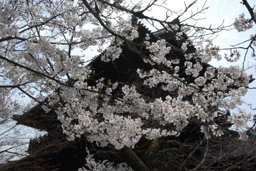 散り桜001.jpg