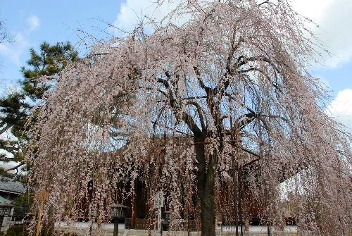 阿亀桜002.jpg