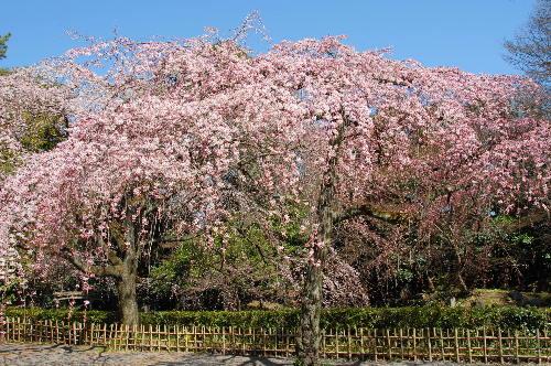 京都御苑 桜01.jpg