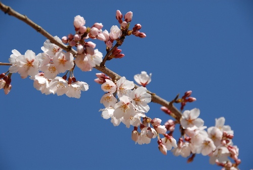 京都御苑 桜03.jpg