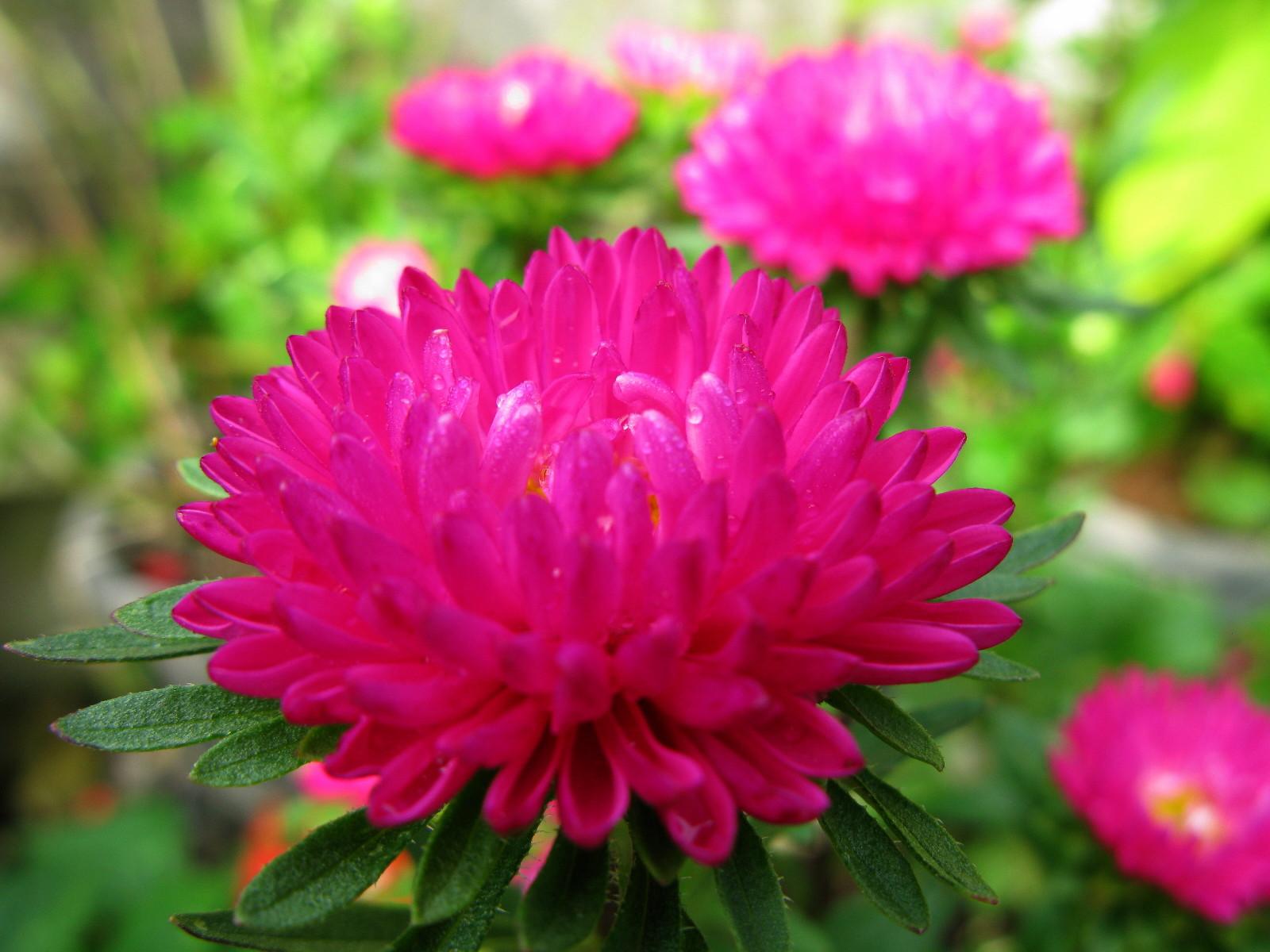 紫式部 ピンク