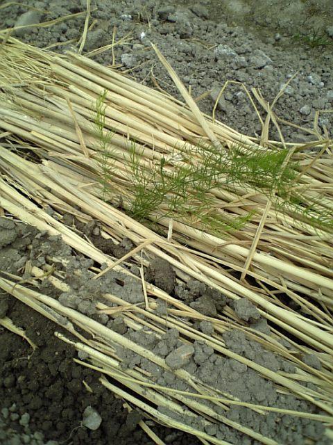 ウチの畑 (7)