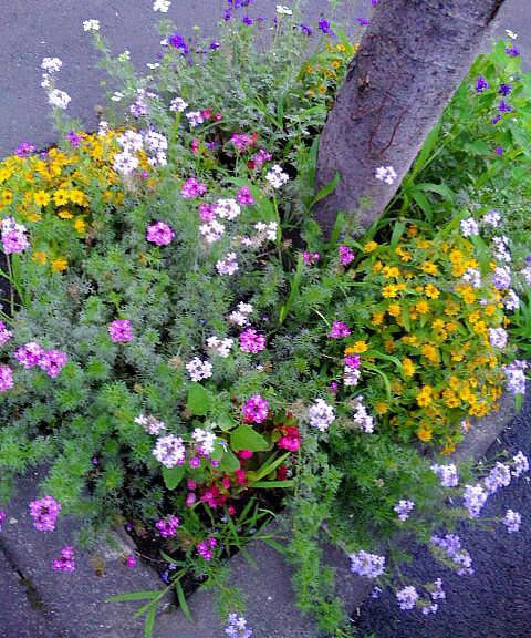 夕暮れ時・・街路樹の花