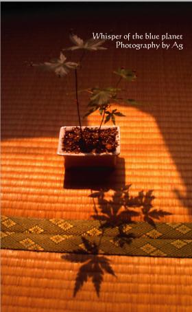 鉢植えモミジ