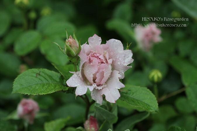 Couture Rose Tilia