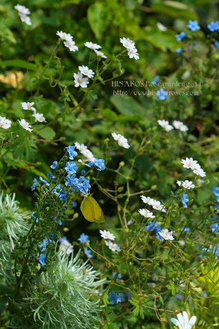 モンキチョウと小花