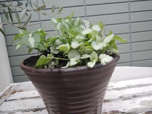 4月7日 葉物の寄せ植え