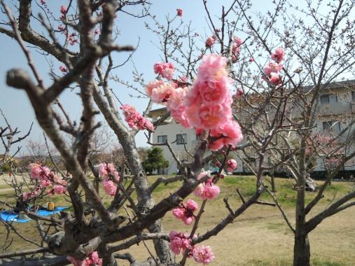4月8日 お花見6