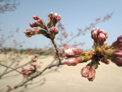 4月8日 お花見蕾