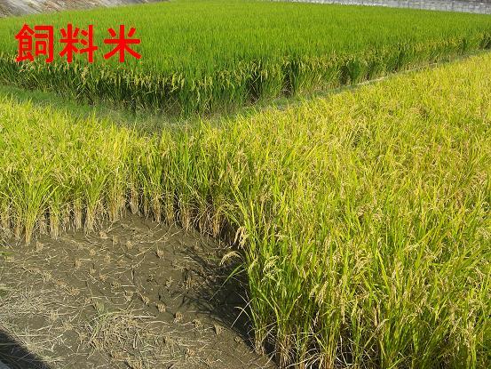 稲刈り_002