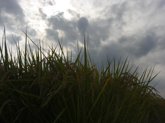稲刈り23_01
