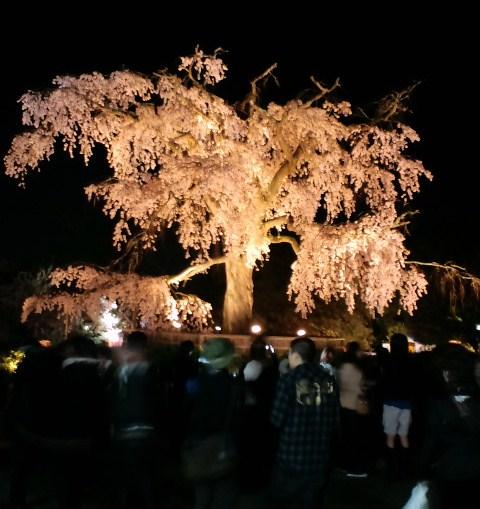 円山のしだれ桜