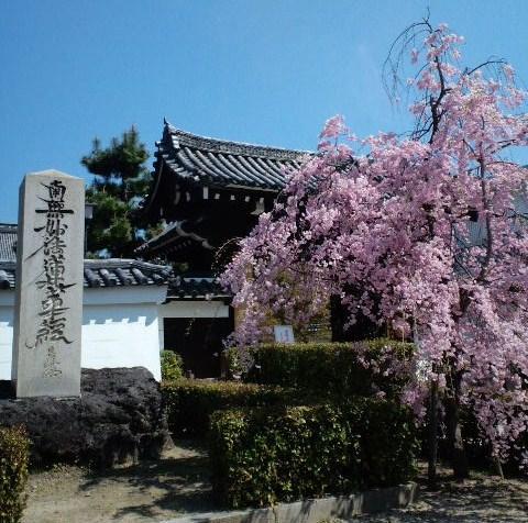 春の妙顕寺