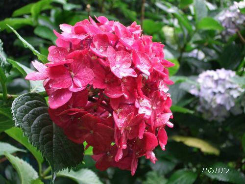 紫陽花 赤