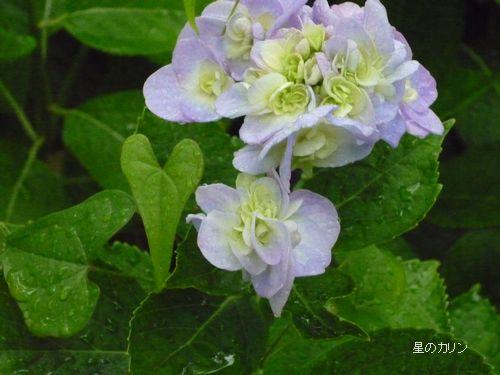 紫陽花 ブーケ