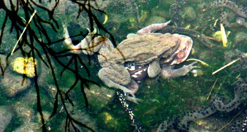 清瀬市立せせらぎ公園の池のヒキガエル01