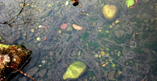 清瀬市立せせらぎ公園の池のヒキガエル02