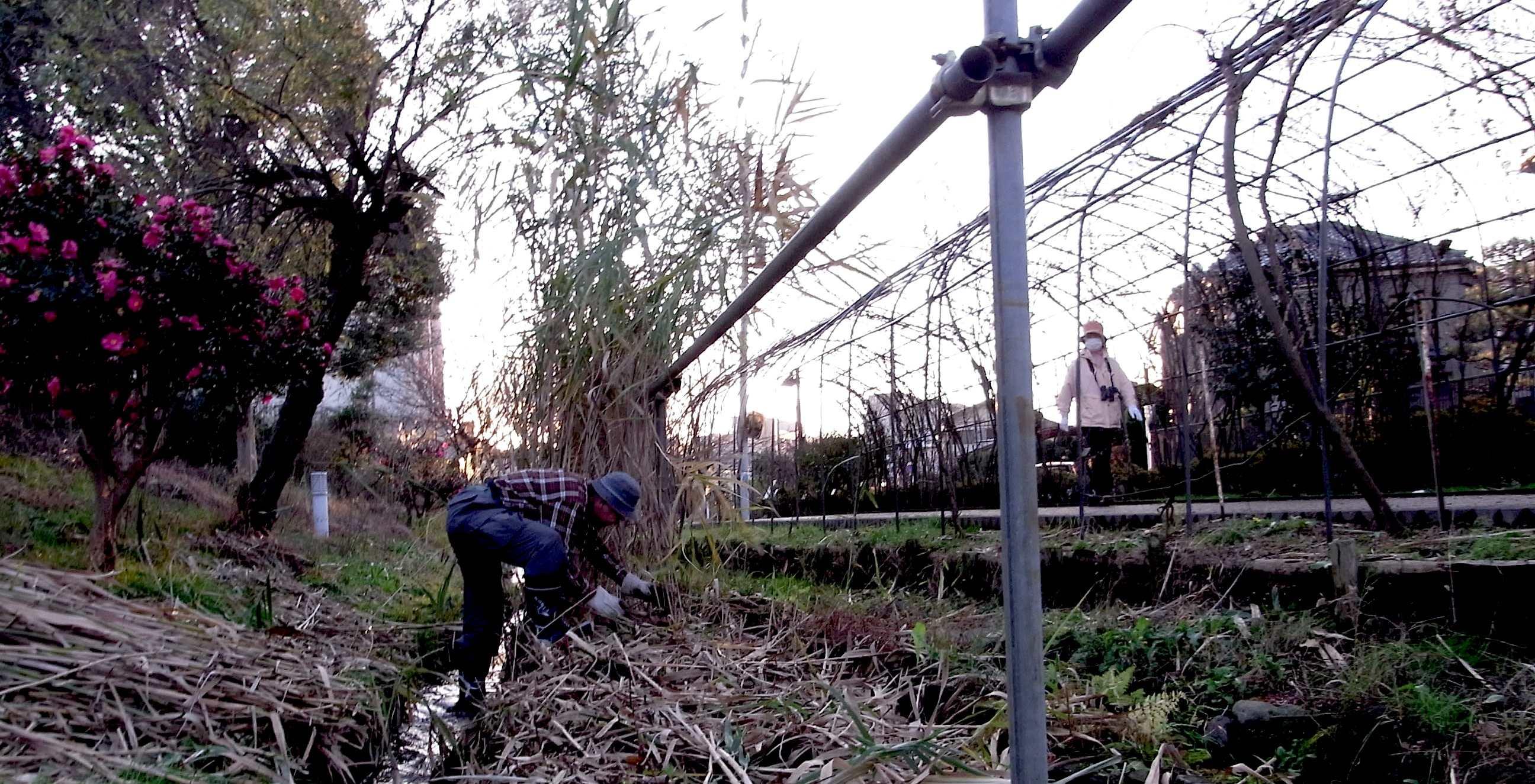 清瀬市せせらぎ公園ススキ刈り、ヤマハギのトンネル近く02