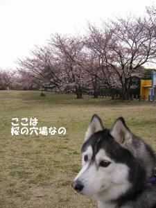2009春 さくら 0239
