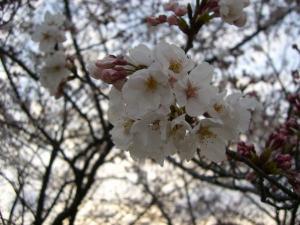 2009春 さくら 0247