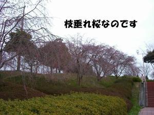 2009春 さくら 03411