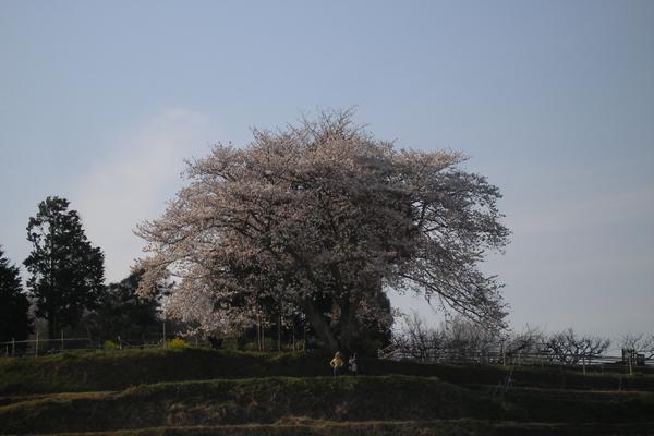 tanada-sakura2011-1.jpg