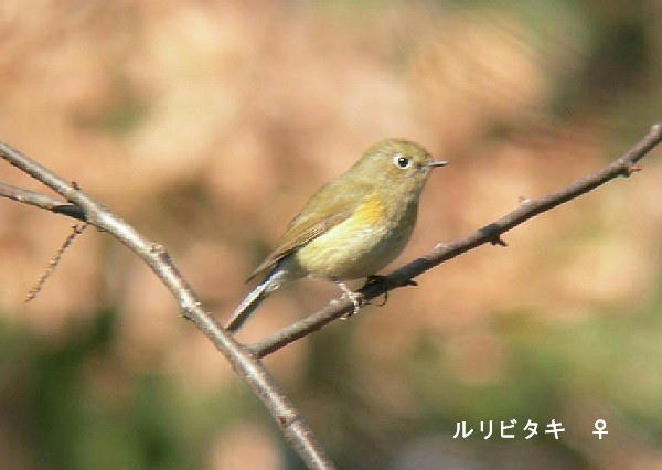 20060212-ruribitaki-DSCN1083.jpg