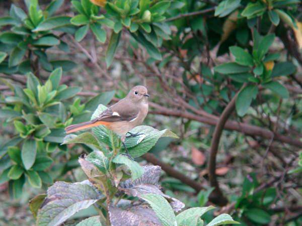 20081107-2 ジョウビタキ2