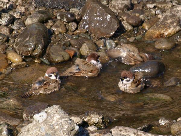 20081110 スズメの露天風呂