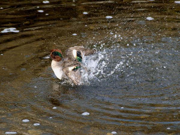 20081112-1 コガモの水浴び
