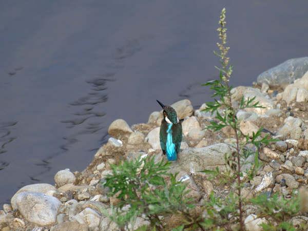 20081114-1 カワセミ1