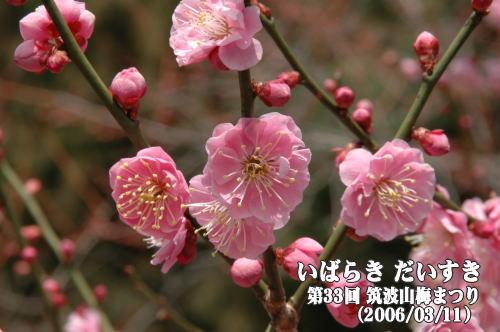 第33回筑波山梅まつり 梅の花の写真(茨城県つくば市/筑波山梅林)