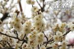 弘道館の梅 八重冬至