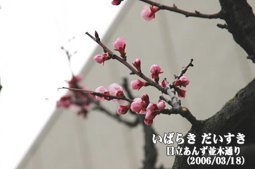 日立あんず並木通り(茨城県日立市)