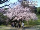 小石川後楽園 桜満開